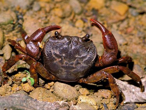拉氏明溪蟹 (Candidiopotamon rathbunae),分布於台灣全島中低海拔溪流處,是首次以台灣為模式產地的蟹類新種,發表於 1914 年。明溪蟹的名稱取自模式種產地日月潭的古名 (Candidius-See),舊名清溪蟹乃誤稱此地名為「清亮湖」。(圖片攝影:施習德)