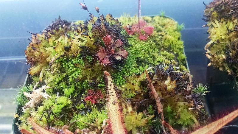Drosera brevifolia.