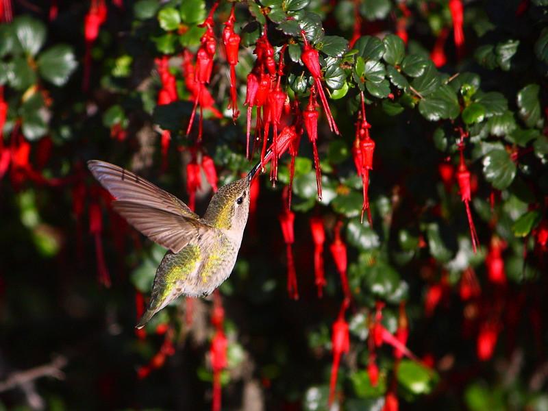 IMG_8679 Hummingbird