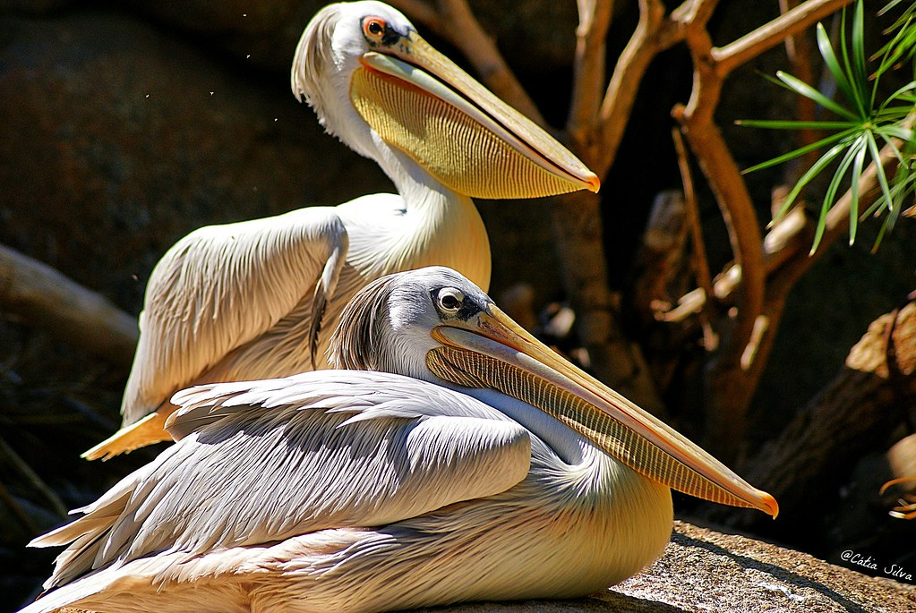 Bioparc Valencia_Humedales (3) Pelicano Rosado