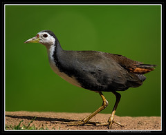 The White Breasted Waterhen