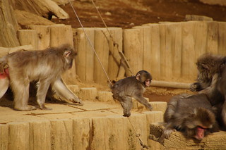 035 Japanse makaken