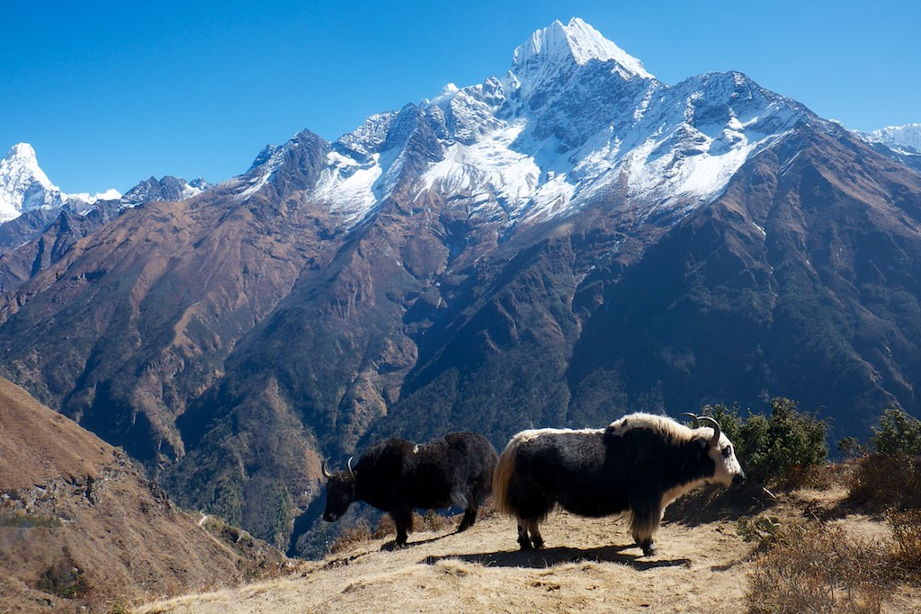 Yaks In Front Of Mountain