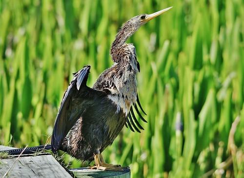 ngc sanctuary anhinga audubon waterlogged anhingaanhinga specanimal cannotfly colliersreserve