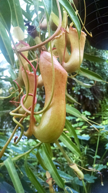 Nepenthes ventricosa at the Conservatory of Flowers.