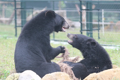 Bears playing with each other at VBRC 7,  house 8, Dec 2014