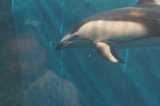 071 Osaka aquarium - dolfijn