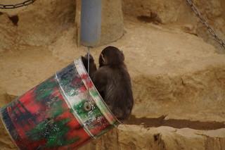 052 Japanse makaken