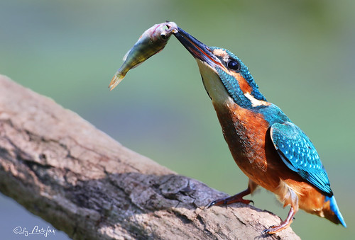 kingfisher (last one)