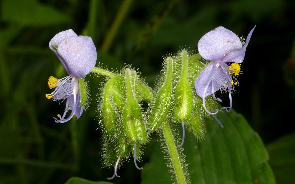 Tinantia erecta, Commelinaceae