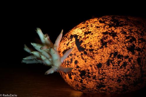 Germinated Potato