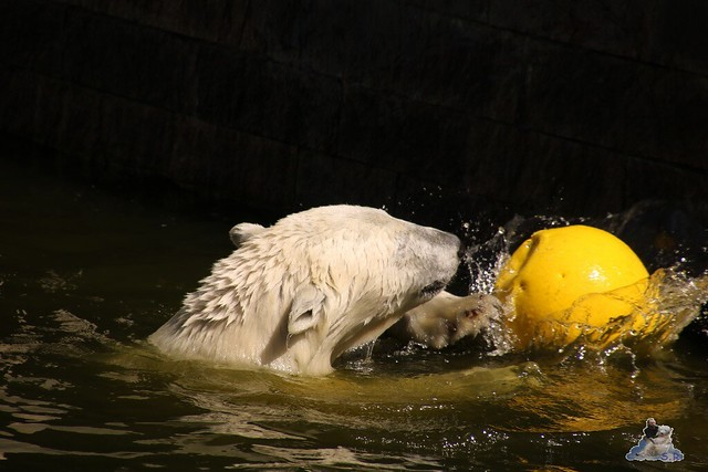 Eisbär Fiete im Zoo Rostock 07.05.2016  078