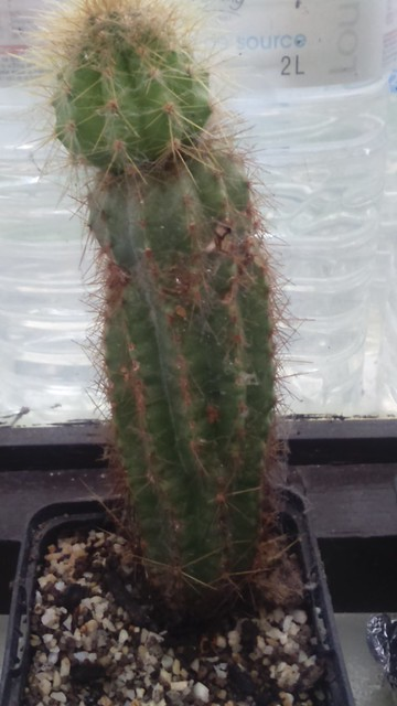 ID cactus 26938377535_6f1375b9c3_z