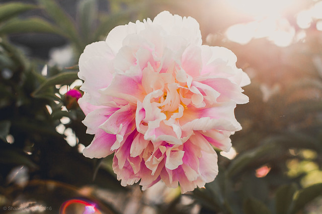 soft white and pink peony