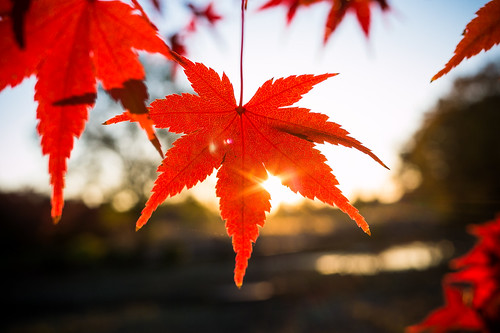 autumn sunset red fall japan leaf tōkyōto tachikawashi