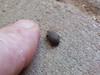 Tenebrionidae>Gonocephalum smplex? Darkling Beetle DSCF5337