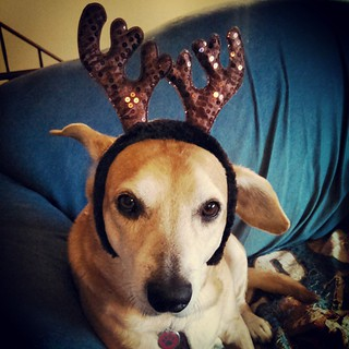 Sophie modeling our second pair of new #antlers - getting her bling on! #dogstagram #instadog #rescued #houndmix #Christmas #ilovemydogs #adoptdontshop