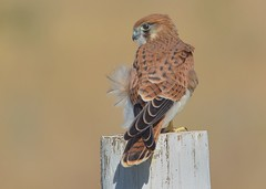 Australian Kestrel.  A perfect little creature