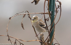 Female Gold Finch (Spinus tristis) with Unusual White Markings Perching on Vine