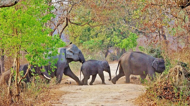 Wild Asian Elephant Herd Crossing the Road