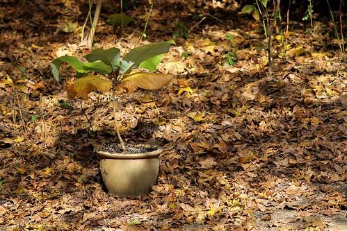 CrabAppleLane Big Leaf Magnolia - November 30, 2014
