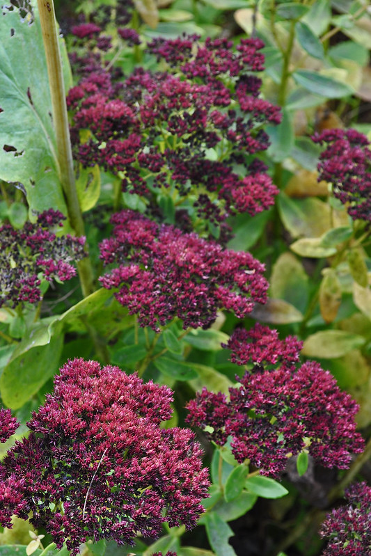Sedum'Autumn Joy'