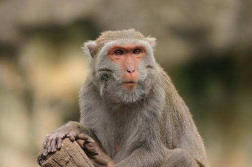 台灣獼猴可殺?(攝影:賴鵬智)