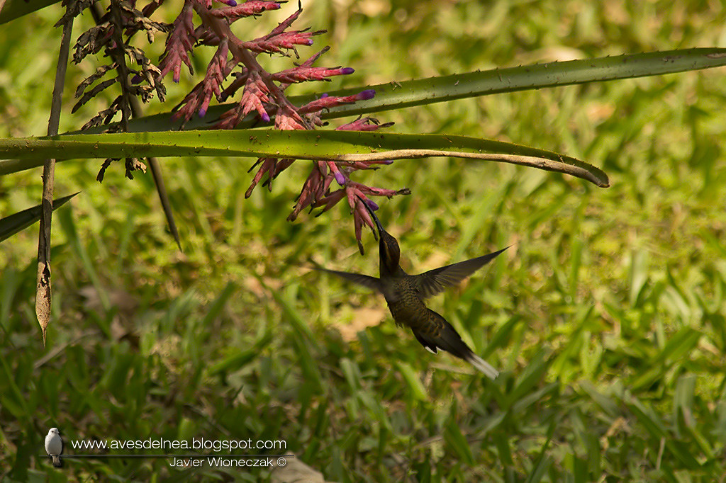 Ermitaño escamado (Scale-throated-Hermit) Phaethornis eurynome
