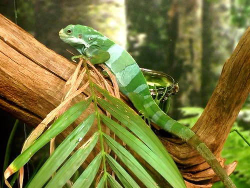 Fijian Banded Iguana