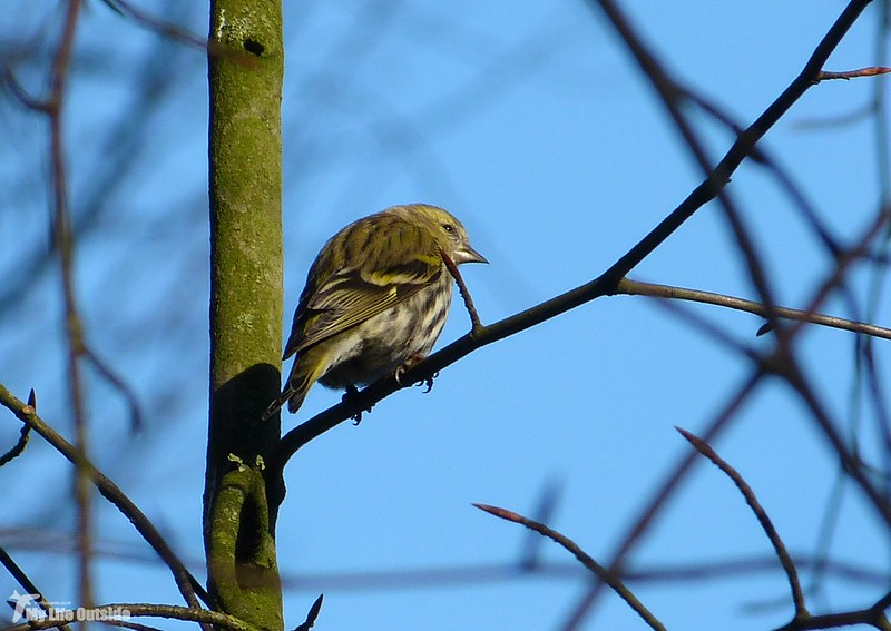 P1100364_2 - Siskin, Lower Brockhampton
