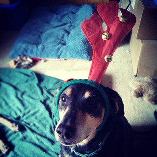 We had a little mishap with the antlers this morning... #dogstagram #instadog #antlers #houndmix #rescued #adoptdontshop #Christmas #TisTheSeason #ilovemydogs #seniordog #ilovemyseniordog