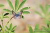 Boisduval Blue Female on Lupine TWBF DSC_9779