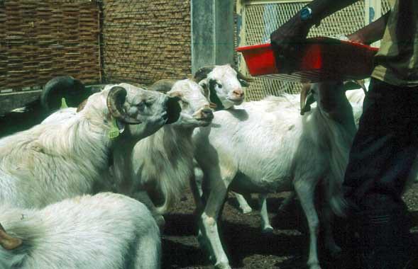Tue, 01/20/2015 - 05:25 - Species name: Sheep (photo credit: ILRI).