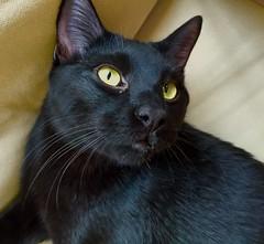 animal, small to medium-sized cats, pet, black cat, bombay, cat, carnivoran, whiskers,