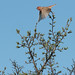 Common Rosefinch (Carpodacus erythrinus) Rosenfink