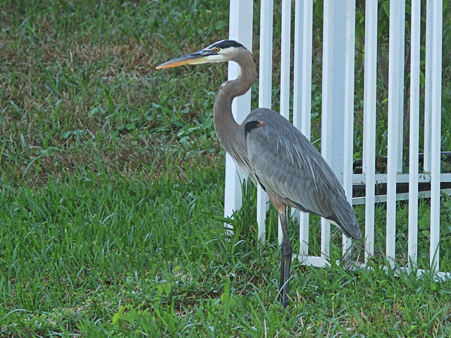 Great Blue Heron 2-20150111