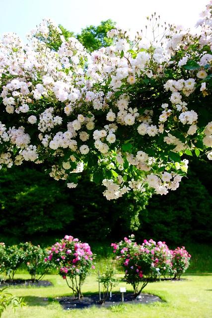 Nozuta Rose Garden #3
