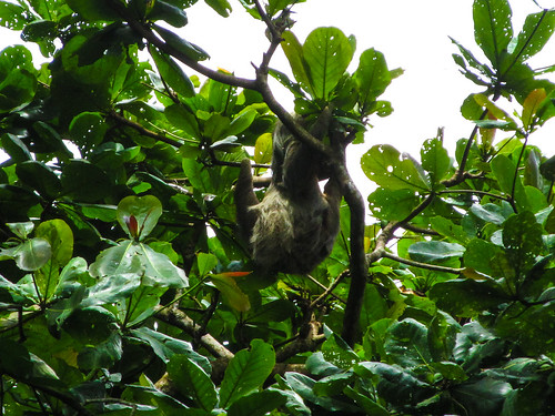 Parc National de Cahuita: un autre paresseux, une grosse femelle