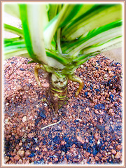 Pandanus veitchii 'Variegata' (Variegated Dwarf Pandanus, Variegated Screw Pine, Variegated Veitch's Screw Pine) with stilt roots, May 8 2016