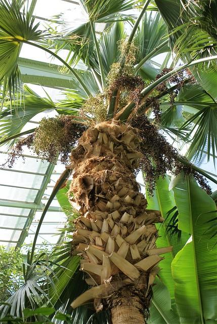 Grandes Serres  Jardin des Plantes | Palm Tree