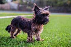 dog breed, animal, dog, schnoodle, pet, australian silky terrier, glen of imaal terrier, vulnerable native breeds, norwich terrier, cesky terrier, cairn terrier, australian terrier, carnivoran, terrier,