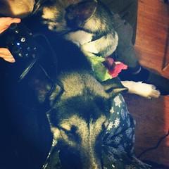 Puppy snuggles and Diablo III. #shepsky #husky #GSD #germanshepherddog #puppy #cuddles #Diablo #xboxone