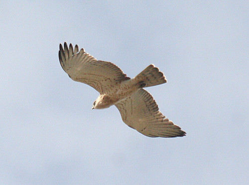 Short-toed Eagle Circaetus gallicus Cabranosa, Sagres, Portugal October 2014