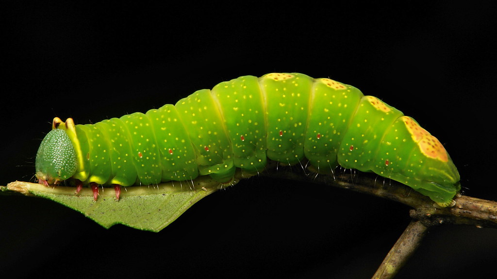 Notodontid Moth Caterpillar (Notodontidae)