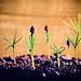 Bristlecone Pine Seedlings by markr82