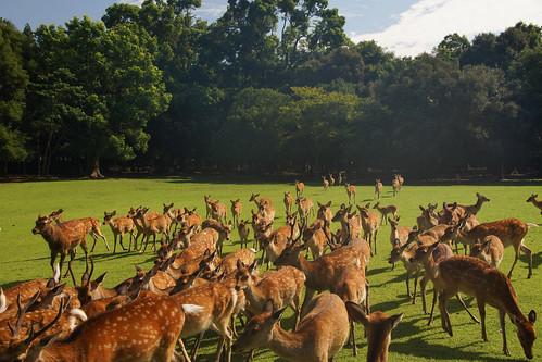 animal japan 日本 nara 動物 奈良 narapark 奈良公園 鹿 sikadeer
