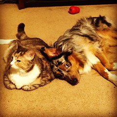 Best friends... or they at least tolerate each other. #miniaussie #aussielove #americanshepherd #catsanddogs