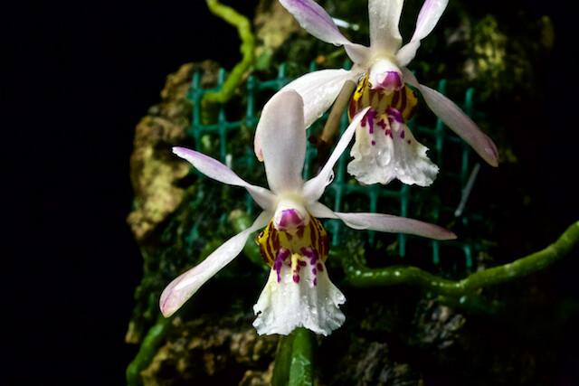 Holcoglossum Wangii 15906065755_c751e2b709_z