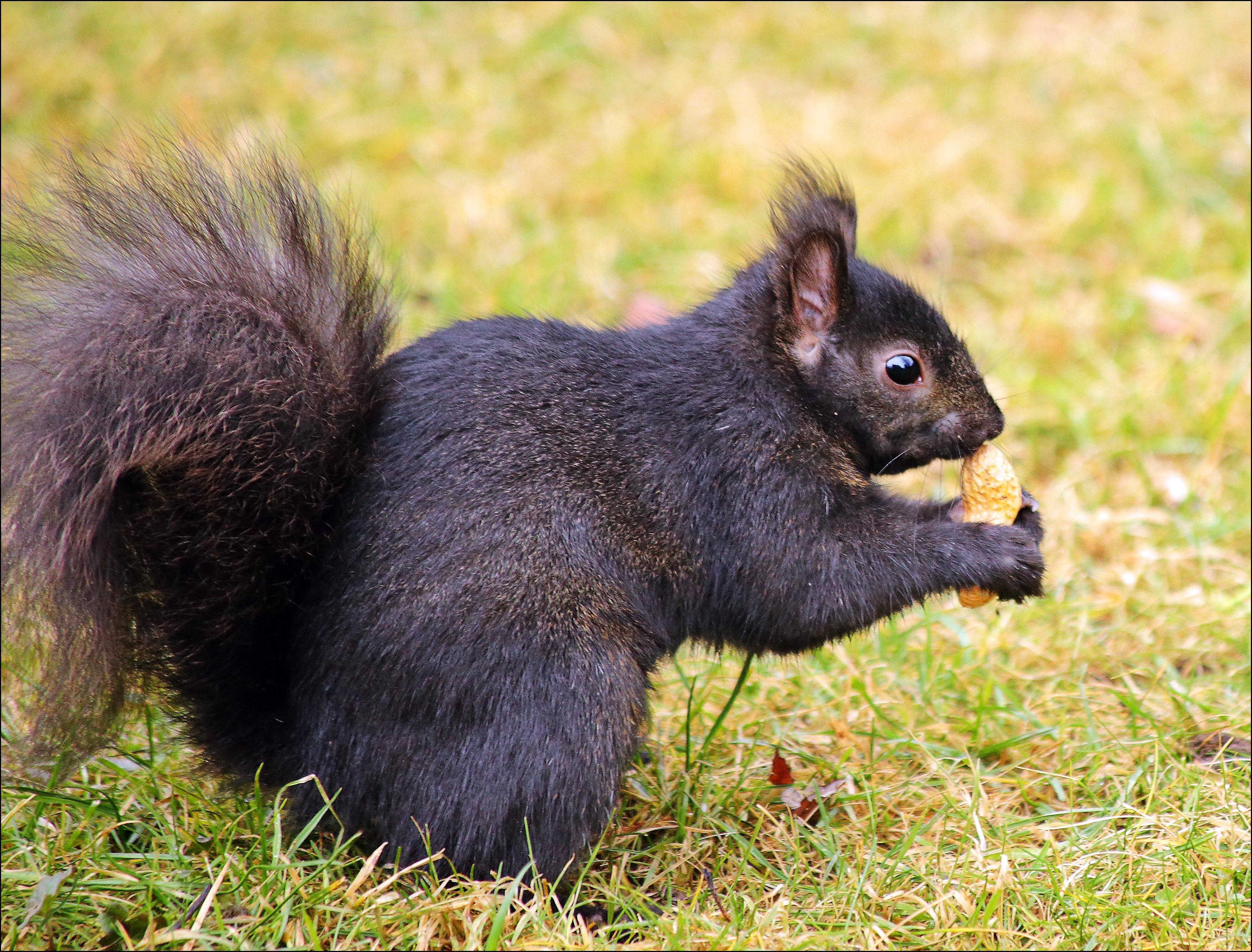 If It Looks Like A Peanut And Smells Like A Peanut. canon, squirrel, smell, peanut, 6d. buy photo