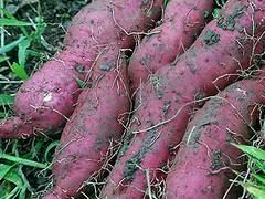 vegetable, soil, produce, food, tuber,